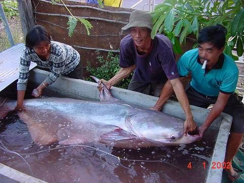 Одна из самых больших в мире пресноводных рыб - азиатская рыба сом столь...
