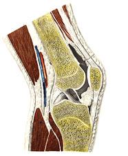 ...большеберцовой кости...  В образовании коленного сустава, articulatio...
