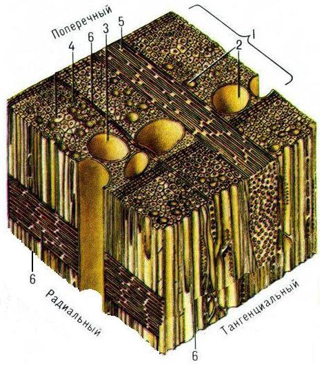 Схема микроскопического строения древесины лиственных пород: 1 - годичный слой; 2 - сосуды; 3 - крупный сосуд; 4...