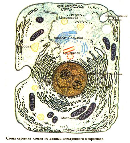 Кроме того происходит деформация грудной клетки, положения ребер.